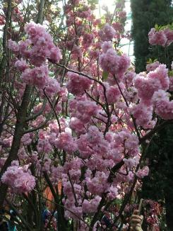 Sakura displays