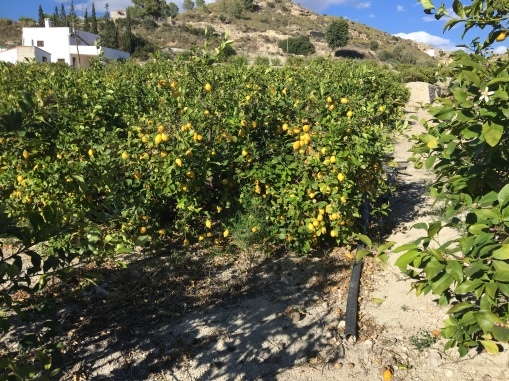 Lemons for miles, and the smell!