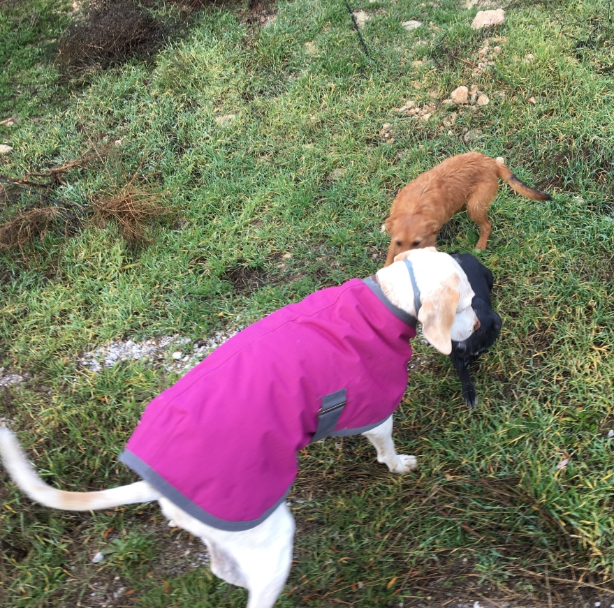 Lucy coated for walks