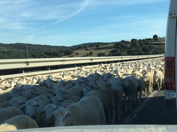 Sheep get a police escort on these roads